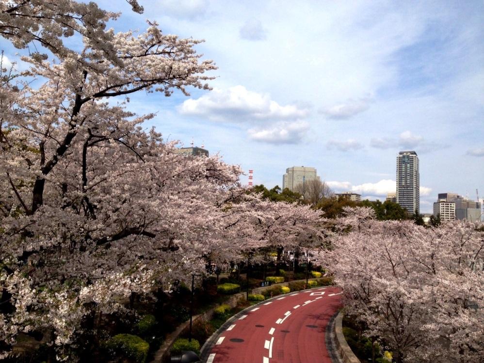 ミッドタウンの桜並木が満開です
